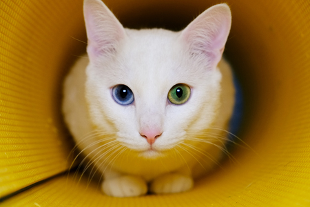 White cat with different color eyes in yellow tube Standard-Bild - 104107012