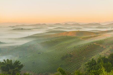 View of the early morning Puer tea fields of Yunnan Province in China