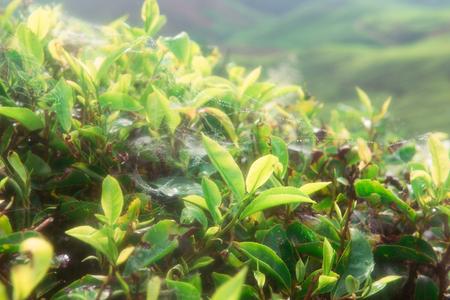 Teeplantagen in den Bergen von Malaysia Standard-Bild - 93224664