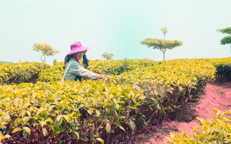 Tea gatherer working in the Chinese province of Yunnan Standard-Bild - 93089306