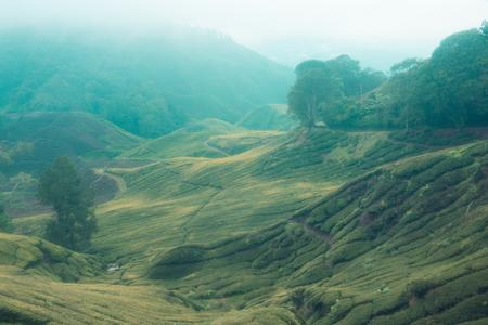 Teeplantagen in den Bergen von Malaysia Standard-Bild - 93135248