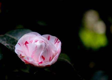 Camellia flower on a dark background of a botanical garden Standard-Bild - 101151191