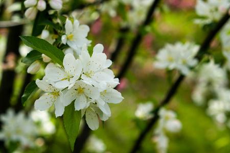 Spring cherry flowers in the botanical garden closeup photo Standard-Bild - 101151192
