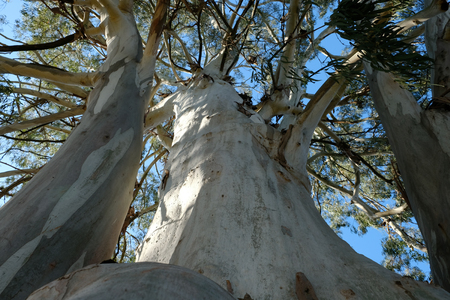 A huge old eucalyptus tree without bark top view Standard-Bild - 101225011