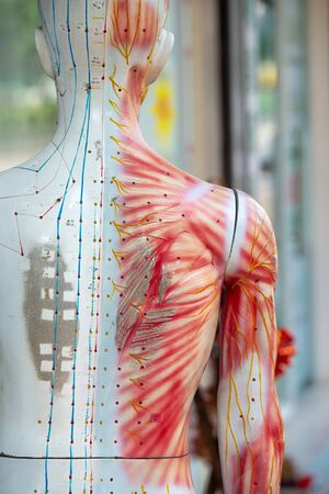 Medical training dummy with channels and points for acupuncture treatment Standard-Bild