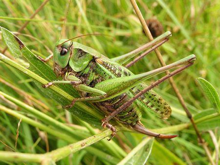 Grasshopper. The big grasshopper in a grass on a field. photo