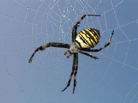 aracnidos: Spider. Una ara�a en un Web. En una web de roc�o por la ma�ana.  Foto de archivo