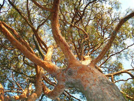 strong base: Sotto un pino. Un tronco e rami brulicante di un pino.