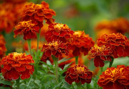 Lot of orange tagetes. Beautiful Marigold flowers. Tagetes patula in garden. Selective focus.
