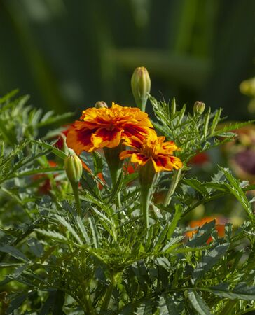 Tagetes patula in garden. Close up of beautiful Marigold flower on a green background. Selective focus. 版權商用圖片