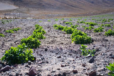 quinoa plantations
