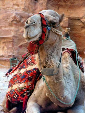 saddle camel: A jordan dromedary took on the Petra area