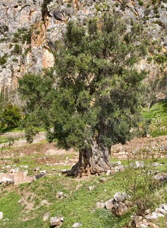 Old olive tree in Delphi, Greece Standard-Bild