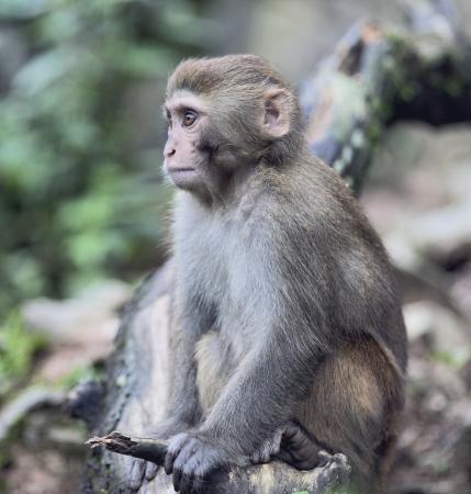 Rhesus Macaque monkey sitting in meditating pose in Northern India Standard-Bild