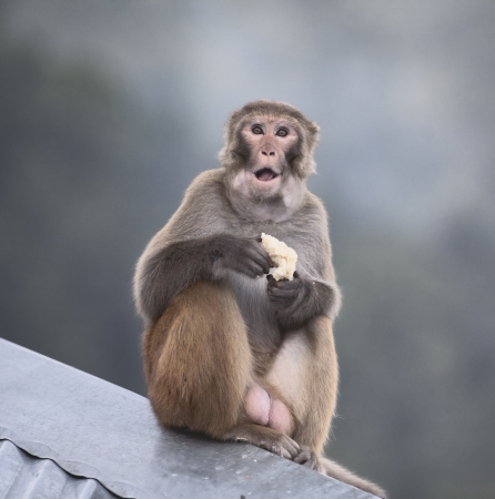 Rhesus Macaque male with cake in hands and open mouth in Northern India