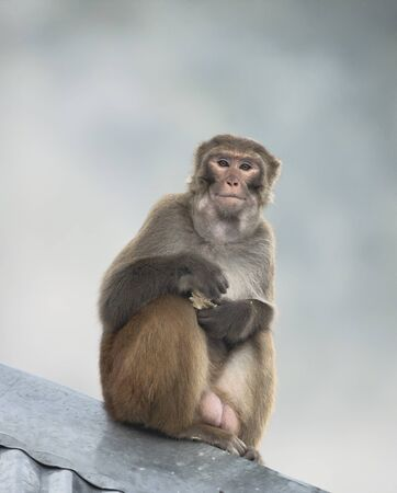 Rhesus Macaque male with cake in hands and food in cheeks in Northern India