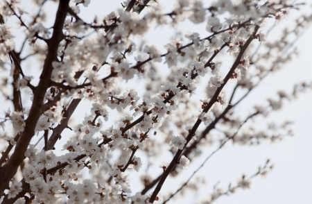 A branch of cherry tree blossoming in spring