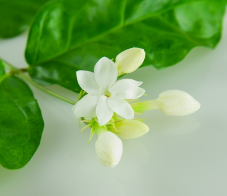 jasmine flower: The White Jasmine Flower with green leaf Stock Photo