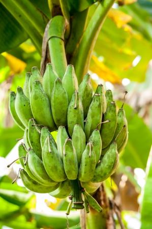Banana plantation - bunch of ripening bananas on tree photo