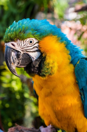 A beautiful Blue   Gold Macaw closeup photo