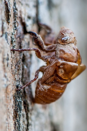 Cicada shell (Hemiptera: Cicadidae) moult hanging from a tree photo