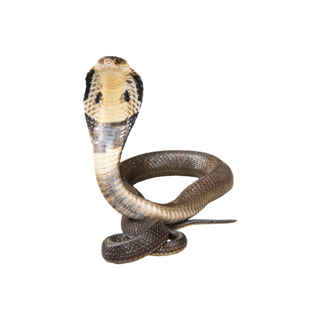 serpiente cobra: Rey cobra aislar sobre fondo blanco Foto de archivo