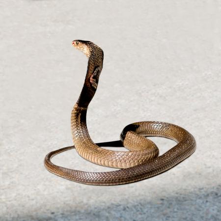 egyptian cobra: Cobra on the floor Stock Photo
