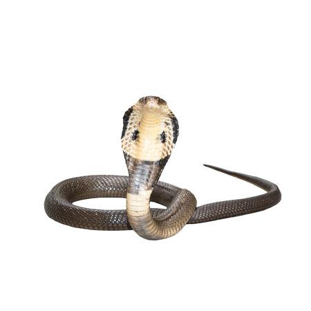 cobra snake: King cobra isolate on white background