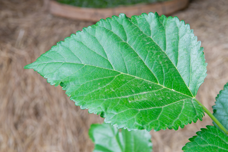 cocoon: Green Mulberry Leafand for silk worm cocoon Stock Photo