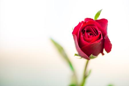 mazzo di fiori: vicino colpo di macro di una rosa rossa Archivio Fotografico