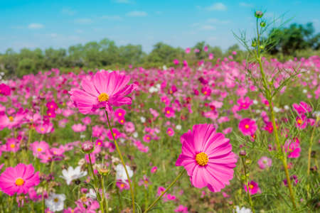 Cosmos Flowers In Blooming Garden Stock Photo, Picture And Royalty