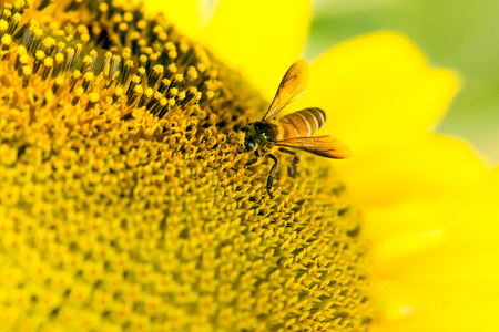 pollinators: close up of bee on sunflower