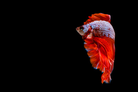 fighting fish: Capture the moving moment of siamese fighting fish on black background. Betta fish