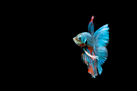 capture the moment: Capture the moving moment of siamese fighting fish on black background. Betta fish