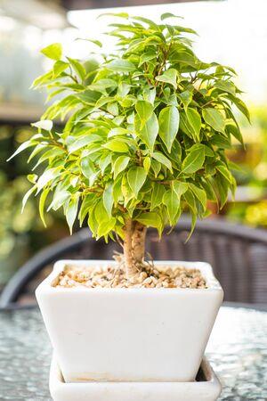 tree trimming: Decorative trimming tree in flowerpot