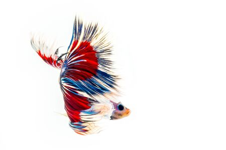 capture the moment: Half Moon Dampo Betta fish, Capture the moving moment of siamese fighting fish on white background
