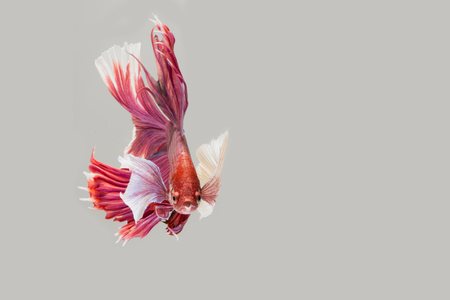capture the moment: Pink Half Moon Dampo Betta fish, Capture the moving moment of siamese fighting fish on gray background