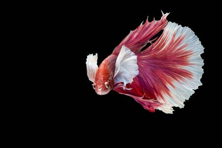 capture the moment: Capture the moving moment of siamese fighting fish. Betta fish
