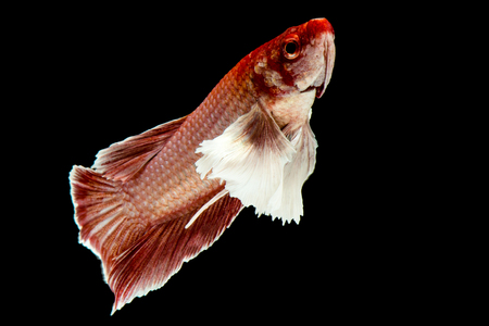 capture the moment: Big ear betta fish, Capture the moving moment of siamese fighting fish on black background