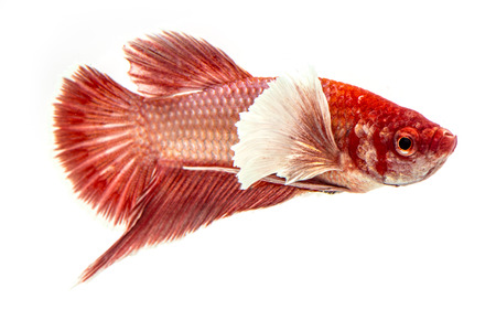 capture the moment: Big ear betta fish, Capture the moving moment of siamese fighting fish on white background Stock Photo