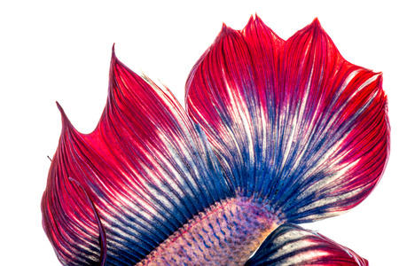 capture the moment: close up tail end Betta fish, Capture the moving moment of siamese fighting fish on white background