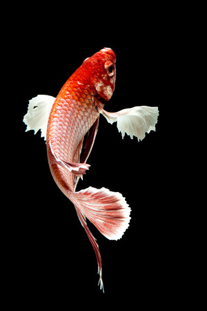 big ear: Big ear betta fish, Capture the moving moment of siamese fighting fish on black background