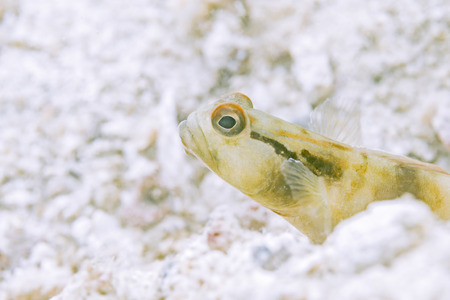 reeffish: Goby fish in sea sand , underwater photography