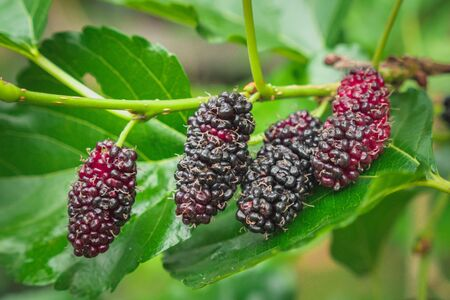 fresh mulberry on tree