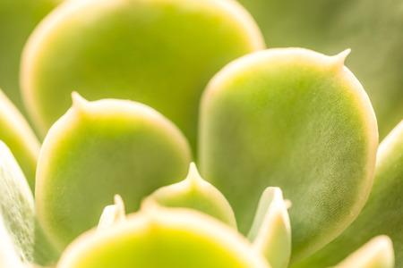 Close up of Crassula (Cactus and Succulent) Stock Photo