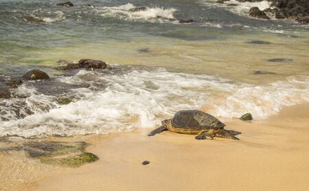 pacific islands: Bit Pacific islands tortoise going into the ocean.