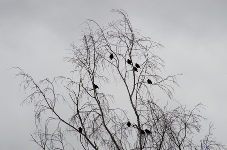 diminishing perspective: Flock of a black birds resting on the tree without leaves.