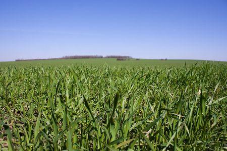 Field of juicy grass