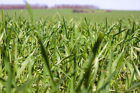 Campo di erba succosa  Archivio Fotografico