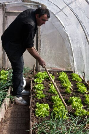 Man working in a real greenhouse. Lettuce and onion visible. Artistic selective focus.